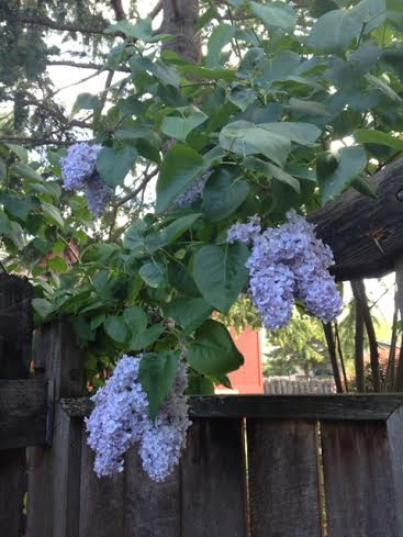 Lilacs in our yard