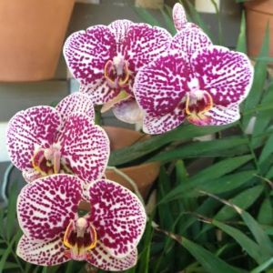 orchid two