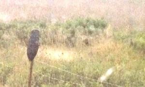 owl on Dead Indian